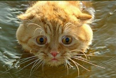 Плывущий кот