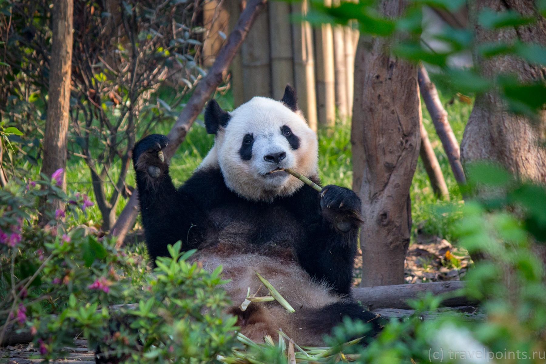 Панда из Чэнду приветливо машет лапой