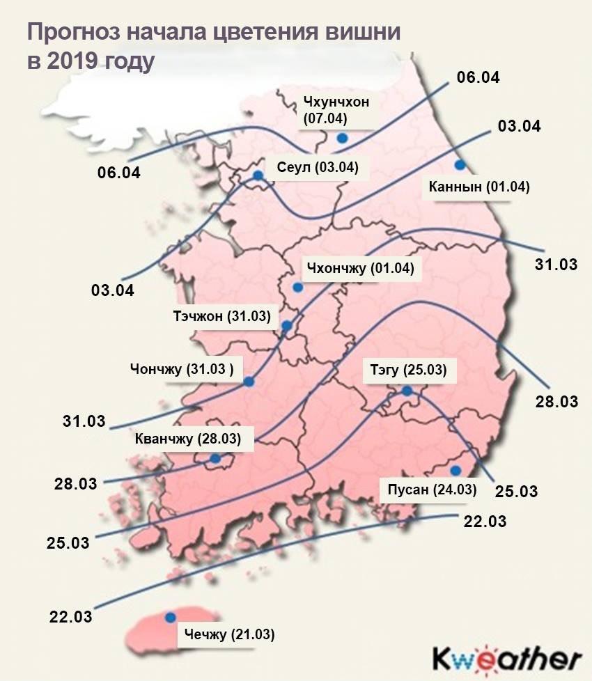 Прогноз цветения сакуры в Корее 2019