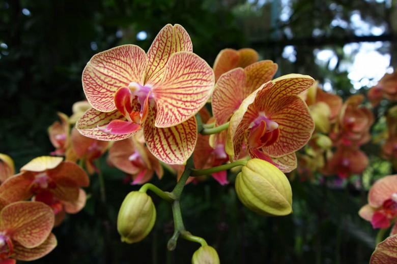 Фаленопсис в Саду орхидей